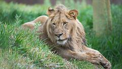 Ernest (2 years old) (WisteriaLane) Tags: lions ernest specanimal sandiegozoosafaripark