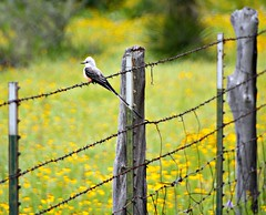 SISSOR-TAILED FLYCATCHER HFF (The Old Texan) Tags: bird fence spring nikon texas barbedwire wildflowers hillcountry d7100 scissorstail