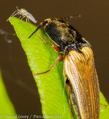 IMG_1235-1-1 (Pascal Guay) Tags: canada macro up closeup bug insect close quebec beetle bugs click pascal clicker guay clicking nigricollis ampedus clickerbug chronomidae pascalnet pascalnetnet