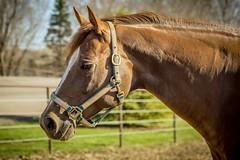 Obvious (James Billson) Tags: aqha quarterhorse horse equine mare halter breed farm country priorlake scottcounty minnesota rural animal ranch livestock showhorse canon 60d