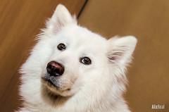 Kira (Alix Real) Tags: dog dogs photography samoyed white wolf lobo samoyedo winter invierno puppy perro perros portrait animal animals wild pet
