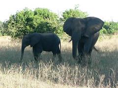 Elephants ! (Mara 1) Tags: africa face animals outdoors kenya wildlife ears trunk elephants tusks