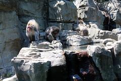 Central Park Zoo - Snow Monkeys (wallyg) Tags: nyc newyorkcity ny newyork zoo monkey manhattan monkeys macaque snowmonkey japanesemacaque snowmonkeys nihonzaru centralzoo