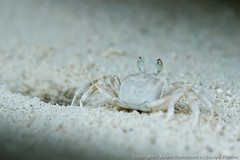 Zippy sand crab would scurry in and out of its hole (3scapePhotos) Tags: africa tanzania animal animals beach beaches closeup continent crab hole island macro out safari sand scurry zanzibar zippy