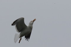 Insect Feast (Robin M Morrison) Tags: feeding gull insects gorge avon