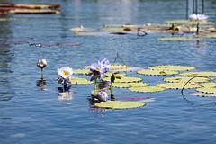 water lilies (Lucie Maru) Tags: flowers summer white flower water pond lily floating lilies waterlilies buds blooms float blooming whitebloom tranquality tranqual floatingonwater flowersonwater orangecenter