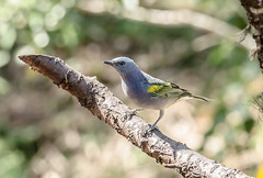 RSS_0640 (RS.Sena) Tags: brazil bird nature forest nikon natureza pssaro atlantic ave birdwatching mata atlntica d7000 sopaulobr