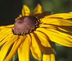 Rudbeckia (Shotaku) Tags: flowers plants plant flower macro yellow closeup garden gold bloom blackeyedsusan blooming