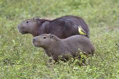 Capybaras (Hydrochoerus hydrochaerus) with Cattle Tyrant (Machetornis rixosa), Pantanal, Brazil (Daniel J. Field) Tags: capybara machetornisrixosa cattletyrant hydrochoerushydrochaerus