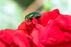 Fly On Rose (John Fenner) Tags: red macro up rose insect fly flying petals wings nikon close bokeh sigma d750 resting f28 105mm