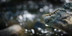 Nel_magnifico_mondo_ostile (Danilo Mazzanti) Tags: danilo danilomazzanti mazzanti wwwdanilomazzantiit fotografia foto fotografo photography photos lucertola composizione natura laghetto fiume