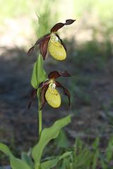 un double (luka116) Tags: fleur juin suisse valais orchides 2016 cypripediumcalceolus derborence orchidaces