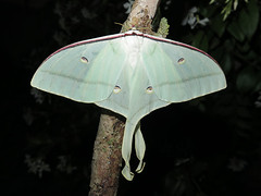 Actias ningpoana (Female) (Lepsibu) Tags: saturniidae