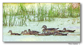 1E1A9017-DL   -   Canard branchu / Wood Duck.
