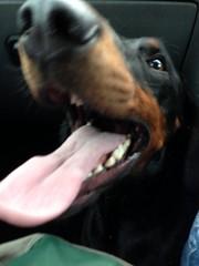 Gunner (Dls Bute) Tags: dog cute smile doberman gunner dobermann stunningdog
