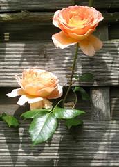 Mein Herze freuet sich in dir, mein lieber Gott (amras_de) Tags: flower fleur rose flor rosa roos blomma rosen gl blume fiore blte blomst rs rozen virg lore bloem blm iek floro roser kwiat flos ciuri kvet arrosa kukka rozes cvijet vrtnica flouer blth cvet zieds ruusut is trandafir floare rza rua rzsa blome rozo iedas roe rue rosslktet