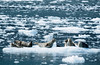 More seals on ice (Ned Awty) Tags: cruise alaska phillips seals whittier seaice brash 26glacier