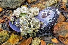 Blistering Barnacles (57Andrew) Tags: shells hongkong shoreline saikung maonshan saisharoad 5dmk3