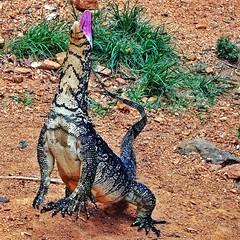 Attention! Danger (Luc1659) Tags: srilanka varano mygearandme mygearandmepremium rememberthatmomentlevel1 rememberthatmomentlevel2 rememberthatmomentlevel3 vigilantphotographersunite vpu2 vpu3 vpu4