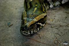 Snake - Python (Derek Licek's Photography) Tags: park tampa photography zoo florida snake derek python fl lowry dlp liceks