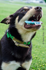 Limit 1 Year Old 05-09-2013-15 (falon_167) Tags: dog australian limit kelpie australiankelpie