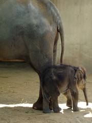 El elefantito con su madre (a_marga) Tags: madrid baby elephant animals zoo aquarium animales elefante cria casadecampo