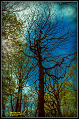 Standing Tall (mikesteph0) Tags: old tree nature woodland scenery natural outdoor foliage leafs
