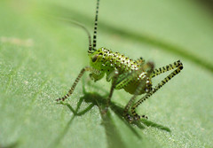 Cute Baby Cricket (riggy-riggo) Tags: macro nature canon woodland insect kent spring wildlife cricket tamron 90mm speckledbushcricket babycricket deborahrigden riggyriggo