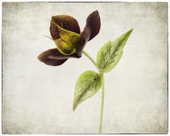 Fruits of spring (jvw2010) Tags: french kiss hellebore textured flypaper