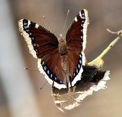 Mourning Cloak Butterfly, Flagstaff, Arizona (martin97uk) Tags: arizona usa museum butterfly north flagstaff northern