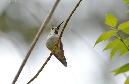 Female Rufous Hummingbird (Selasphorus rufus)