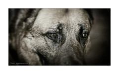 COD_7491_web (Spenny71) Tags: dog cane shepherd german pastore tedesco spennacchio spenny71