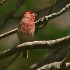 Male House Finch (Bill Bunn) Tags: maine falmouth housefinch