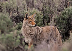 Coyote (tomblandford) Tags: yellowstonecoyote