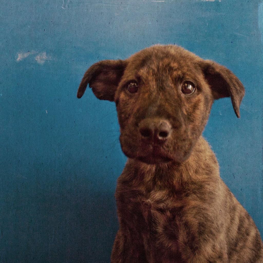 Pitbull Dog Rescue Az