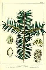 Anglų lietuvių žodynas. Žodis stinking cedar reiškia dvokiantis kedrų lietuviškai.