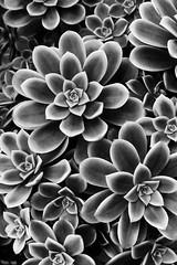 succulent (eb78) Tags: sf sanfrancisco blackandwhite bw monochrome succulent grayscale presidio greyscale