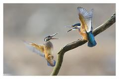 Martins pêcheurs (Alcedo atthis) Kingfisher (Denis.R) Tags: blue france bird canon couple young 300mm kingfisher lorraine oiseau moselle alcedoatthis martinpêcheur juvénile denisr 5dmarkiii denisrebadj