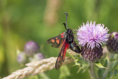 Five Spot Burnet Moth by Gateshead Tyne (willhowecreative) Tags: road summer portrait baby flower macro green nature floral up grass sunshine closeup butterfly bug insect newcastle fly flying flora close wasp adult feeding five wildlife south moth sunny spot bugs tyne gateshead bee shore upon hoverfly quayside burnet