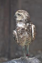 Burrowing Owl 2 (Harlequeen) Tags: bird owl burrowingowl hamerton hamertonzoopark
