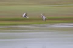 28.07.2013 - Flight (Guruinn) Tags: birds fly flying blurry fuzzy seagull flight pad july outoffocus panning fugl jl fljga flug fuglar 2013 mvur mvar padjuly greinileg
