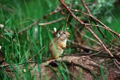 Wyoming Ground Squirrel (e.w. cordon) Tags: usa wyoming grandtetons camping nature prairiedog travel worldtravel ewcordon