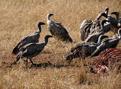 DSC04987 (H Sinica) Tags: safari vulture masaimara maasaimara ruppellsgriffonvulture