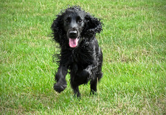 Bazil running to greet me (or to get his treat?) (Photo Gal 2009) Tags: running run blackdog spaniel flowing cocker cockerspaniel bound bounding bazil happydog englishcockerspaniel workingcocker workingcockerspaniel cockerboy englishworkingcocker