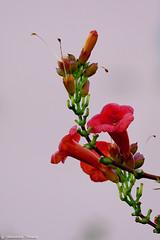 IMG_1368 (Giovanbattista Brancato) Tags: flowers summer holiday nature island estate corse corsica natura fiori fiore francia paesaggi isla vacanza vacanze isola landascapes