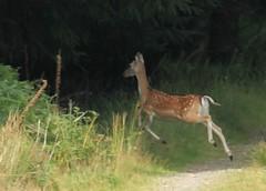 5 Sept 2013 Lochmaben to Moffat 19 Miles  (21) (AJ Yakstrangler) Tags: deer yakstrangler scotland scenery annerdaleway dumfriesandgalloway walk deerweb animalweb