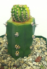 image (That Cacti Guy) Tags: cactus variegated mutant mutation graft echinopsis variegata variegate harrisia