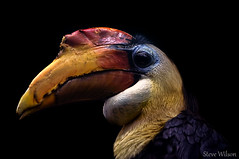 Wrinkled Hornbill (EXPLORE) (Steve Wilson - over 4 million views Thanks !!) Tags: uk greatbritain england black color colour bird nature animal sumatra asian zoo bill interestingness nikon colorful asia cheshire britain background wildlife great conservation explore chester malaysia borneo colourful captive hornbill avian captivity upton wrinkled chesterzoo sunda explored d7000 caughall nikond7000