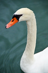 Le cygne (Agns Laure) Tags: portrait orange white black france green bird annecy nature water swan eau noir vert blanc oiseau cygne faune nikond7000