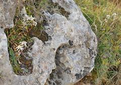 "Leontopodium alpinum Cass.        subsp. alpinum  /  flor de nieve, edelweiss. (chemazgz) Tags: españa spain flora plantas europa plantae edelweiss angiospermae compositae aragón leontopodiumalpinum magnoliophyta magnoliopsida edelweis leontopodium alpinum asterceae dicotiledóneas taxonomy:family=asteraceae geo:country=spain taxonomy:kingdom=plantae flordenieve florapirenaica taxonomy:binomial=leontopodiumalpinum geo:region=europe naturalezapirenaica taxonomy:genus=leontopodium taxonomy:trinomial="" taxonomy:common=flordenieve"